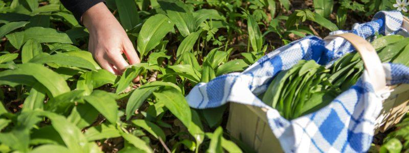 Bärlauch – Der Duft des Frühlings!
